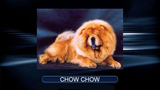 Chow--Chow