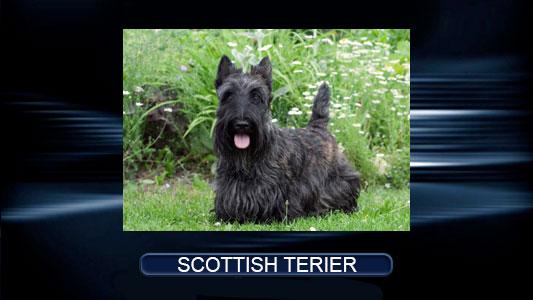 Scot-Terier