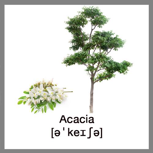 acacia-