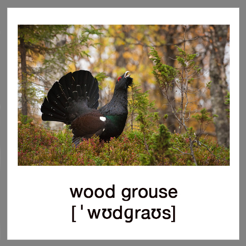 wood-grouse