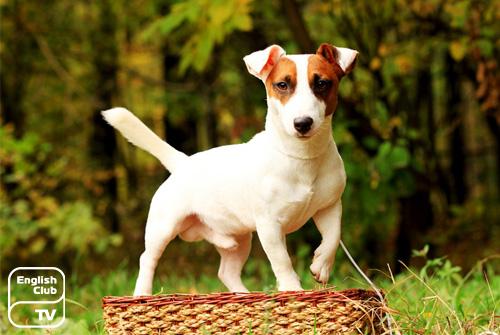 невысокие породы собак