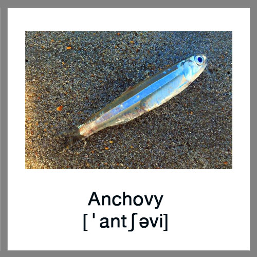 Anchovy-1