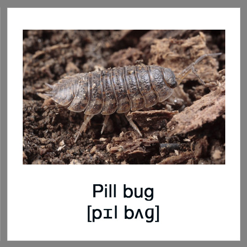 pill bugs preferences concerning a sheltered Pill bug lab extracts from this well, pill bugs are invertebrates that can be found in a myriad of places throughout the world they like to live in damp.