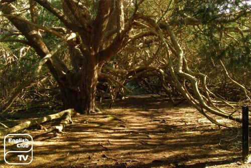 Kingley Vale National Nature Reserve